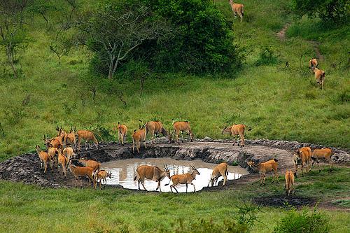 salt licks at mburo national  park