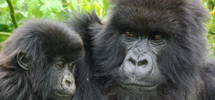 6 days gorilla and wildlife safaris